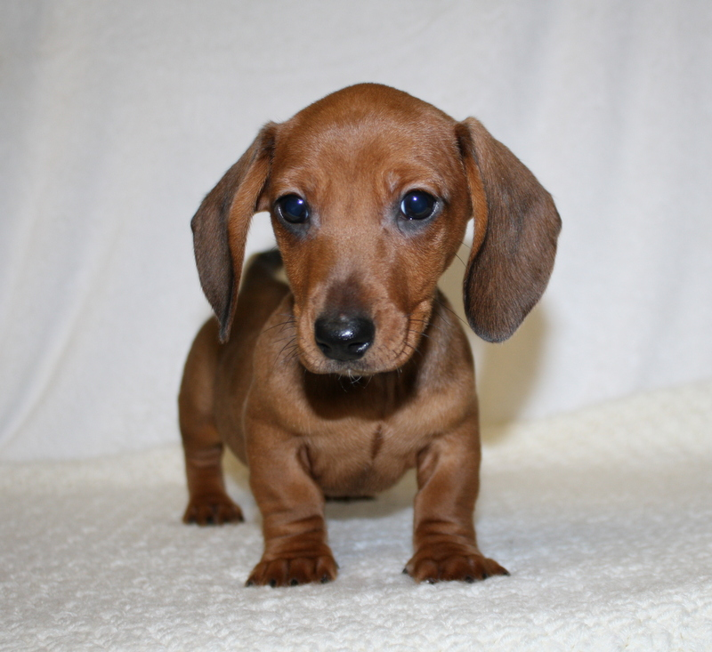 Teacup Dachshund Puppies For Sale | Dog Breeds Picture