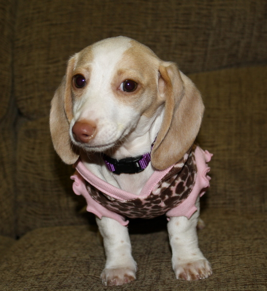 Dachshund Puppies for Sale NC Dachshund Puppies North Carolina Cream